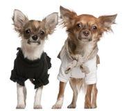 3 chihuahua klädde gammala valpar för månader upp Royaltyfria Foton