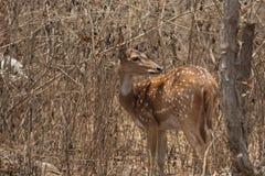 3 chital母鹿 库存照片