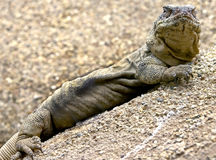 3 chuckwalla Obrazy Royalty Free