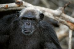3 cimpanzee纵向 库存照片