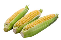 3 cob corn isolated. On white background stock images