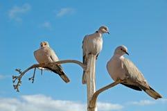 3 colombe sulle filiali separate Fotografie Stock Libere da Diritti