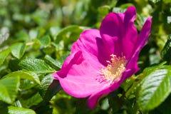 #3 color de rosa salvaje Fotos de archivo libres de regalías
