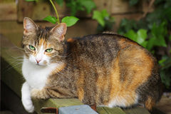 3 colored cat in the garden. A beautiful young, three colored cat in the garden Royalty Free Stock Photo