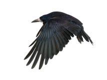 3 corvus latających frugilegus starych gawronu rok Obraz Stock