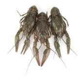 3 crayfishes Стоковые Изображения RF