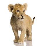 3 cub μήνες λιονταριών Στοκ Εικόνες