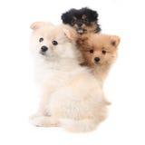 3 cuccioli di Pomeranian che si siedono insieme sul BAC bianco Immagini Stock