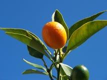 3 cumquat 库存照片