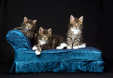3 Cute Maine Coon kittens on blue chaise. 3 Cute and pretty Maine Coon kittens sitting on miniature blue chaise sofa on black background Stock Photography