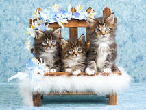 3 Cute Maine Coon kittens on mini bench. 3 Maine Coon kittens sitting on miniature bench Stock Image
