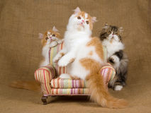 3 Cute red and white Persian kittens. Pretty and cute red and white Persian kittens sitting on miniature brown chair, against hessian background royalty free stock photos