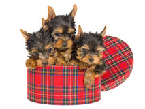 3 cute Yorkie pups sitting inside tartan gift box Stock Photo