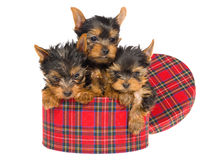 3 cute Yorkies inside round tartan box Royalty Free Stock Images