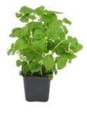 3 cytryny balsamu white Obraz Royalty Free
