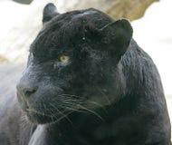 3 czarna pantera Obraz Royalty Free