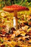 3 czerwieni muchomor Zdjęcia Royalty Free