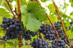 3 czerwieni winnicy wino Fotografia Stock