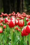 3 czerwone tulipanowy white Zdjęcie Royalty Free