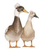3 czubatych kaczek żeńskich męskich starych rok Fotografia Stock