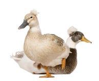 3 czubatych kaczki żeńskich męskich starych rok Obraz Royalty Free