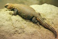 3 dabb蜥蜴撒哈拉大沙漠 图库摄影