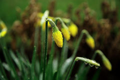 3 Daffodils. Shot on a rainy day Royalty Free Stock Photos