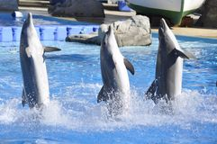 3 dançing dolfijnen Stock Foto