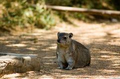 3 dassie非洲蹄兔岩石 免版税库存照片