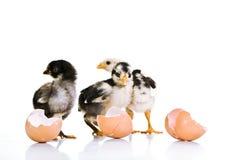 3 de kippen van de baby Royalty-vrije Stock Foto's