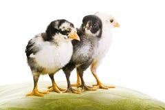 3 de kippen van de baby samen Stock Afbeelding