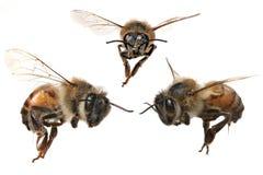 3 diversos ángulos de una abeja norteamericana de la miel Foto de archivo
