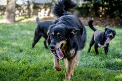 Free 3 Dogs Playing Royalty Free Stock Image - 122087166