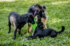 Free 3 Dogs Playing Royalty Free Stock Photography - 122087327