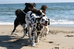3 dogs running. On the beach Stock Images
