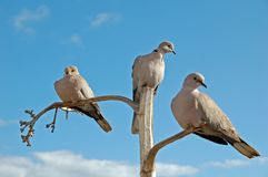 3 doves on separate branches Royalty Free Stock Photos