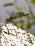 3 dragonfly striolatum sympetrum Fotografia Royalty Free