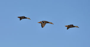 3 Ducks in a Row. 3 Mallard ducks flying in pattern Royalty Free Stock Photo