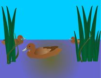 3 Ducks swimming Stock Photography