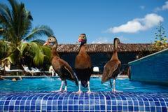3 Ducks wade at resort swimming pool. GRANADA, NICARAGUA: Ducks wade on the edge of a resort swimming pool during the hot dry season stock image