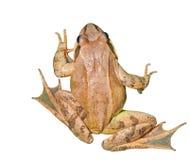 3 dybowskii青蛙蛙属 库存图片