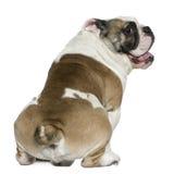 3 engelska gammala år för bulldogg Fotografering för Bildbyråer