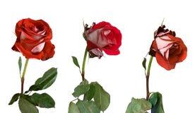 3 etapas de marchitar de una rosa Foto de archivo libre de regalías