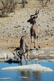 3 etosha kudu Zdjęcia Royalty Free
