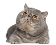 3 exotiska liggande gammala shorthairår för katt Arkivbilder