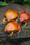 3 Fake Tomato Frog Stock Photo