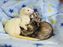 3 Ferrets Blue Stars & Moons. A dark sable male, a dark sable female and a dark eyed silver white male. The silver male is looking off to the right as if Royalty Free Stock Image