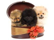 3 filhotes de cachorro de Pomeranian na caixa de presente redonda Fotografia de Stock Royalty Free