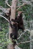3 filhotes do urso na árvore Fotos de Stock