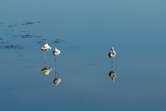 3 flamingów odpoczynkowa woda Zdjęcia Stock